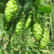 Bier und Küche - Hopfen, Bierevent