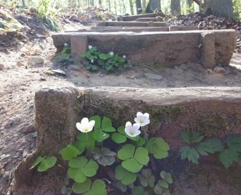 Waldklee an den Stufen zum Schnittlinger Loch