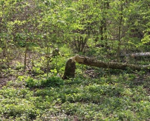 Biberbaum am Vogelinsel